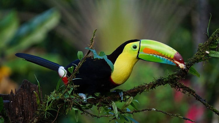 The keel billed toucan having a snack