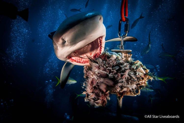 A shark feeding upclose on an all star dive.