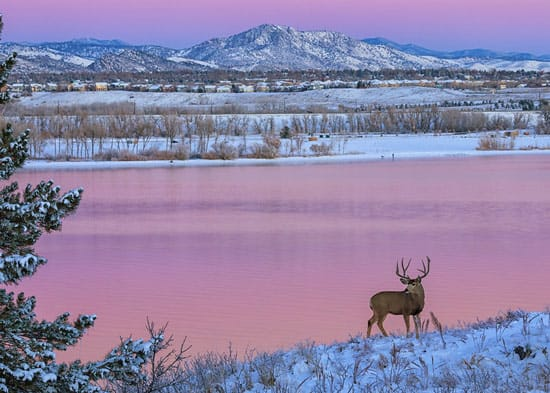 Deer during winter at Chatfield State Park in Colorado.