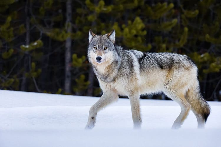 A wolf in Yellowstone Park