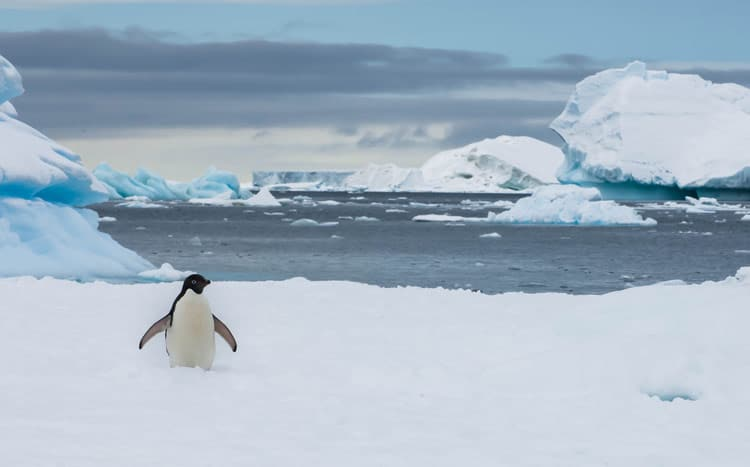 Welcome to the world of the Adelie Penguin.
