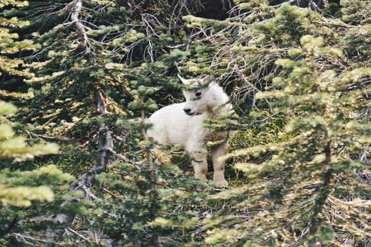 A white baby goat in the trees