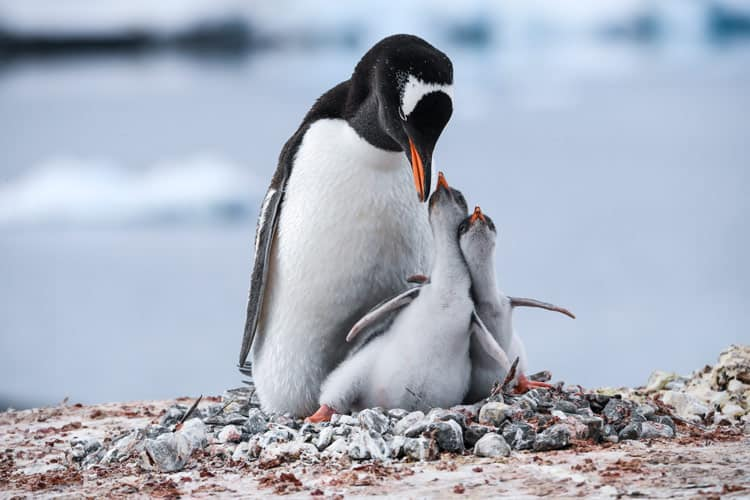 A Gentoo penguin parent and their two chicks