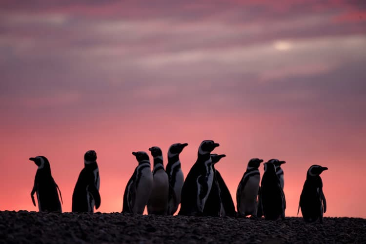 Magellanic Penguins gather at sunset