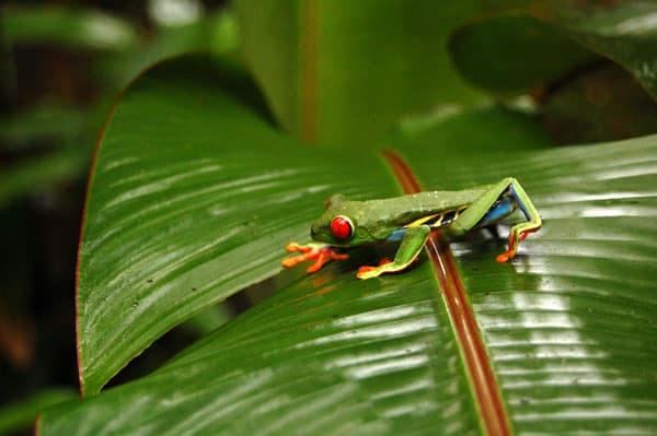 Tree Frog in the rainforest