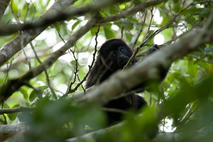 A young howler monkey in the Palencia trees.