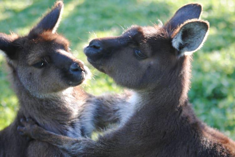Hugs and play on Kangaroo Island