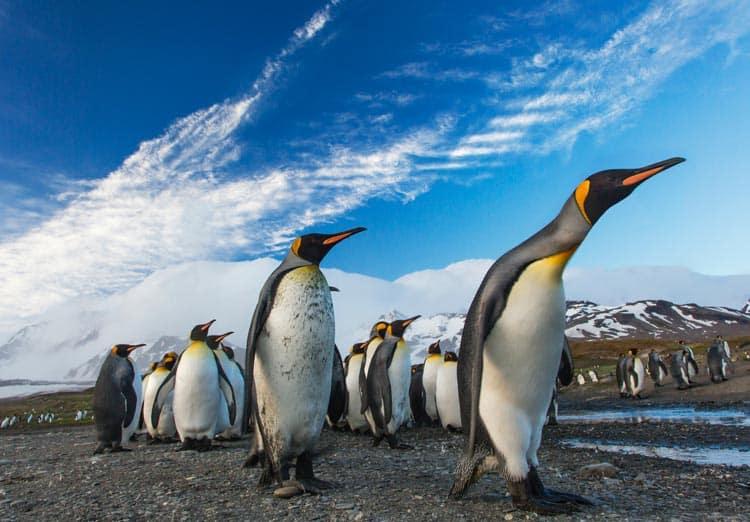 Penguins marching on South Georgia Island beach