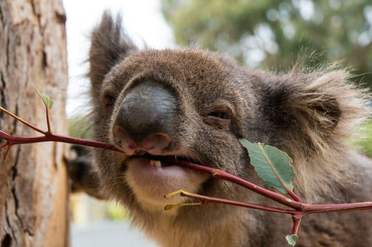 Koala munching on a branch