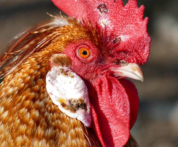 A brown rooster with red eyes