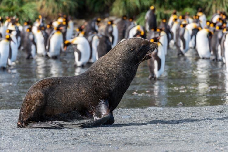 Mix of wildlife on South Georgia Island beaches