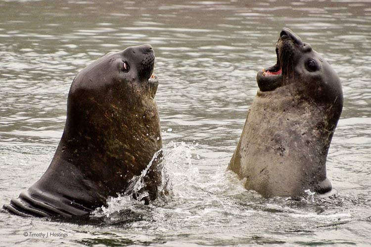 Seals playing in the ocean