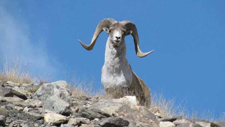 Argali on top of the hill