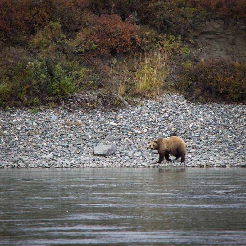 Bear along the Noatak River in Alaska