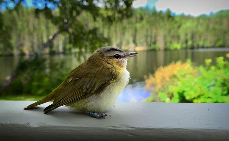 Warbler sits near the lake