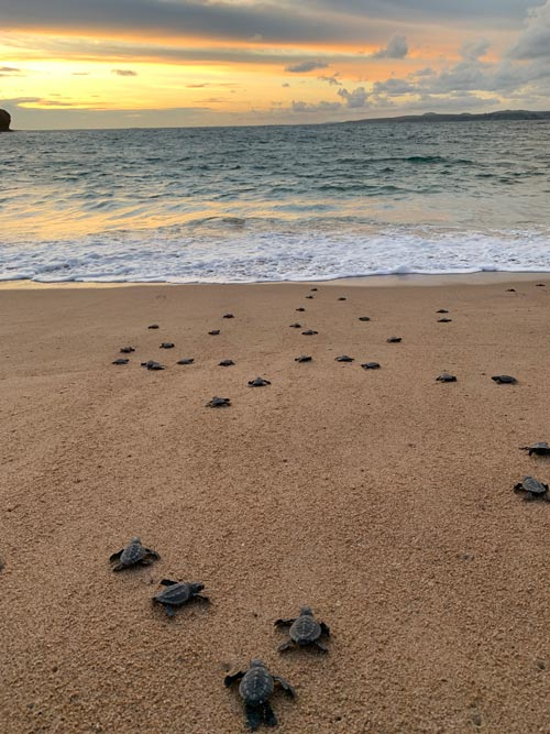 Naturalists monitor and protect the the sea turtles that bury their eggs at Careyes. Photo by Maribeth Mellin