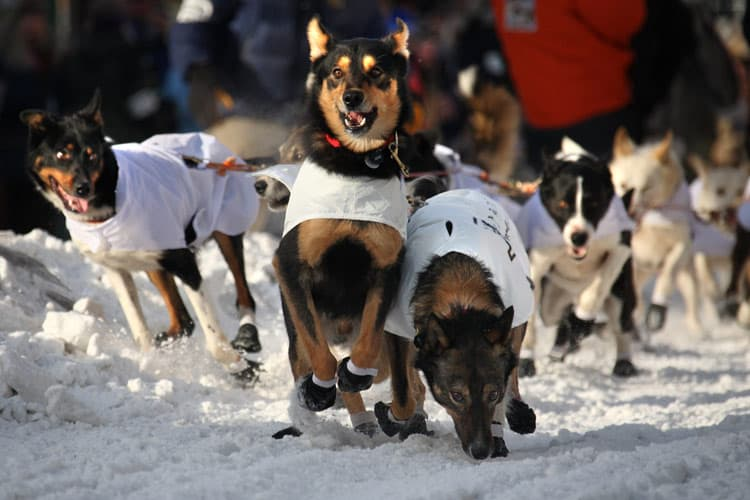 The lead dogs of Kelley Griffin's team from Wasilla, Alaska get underway for the Iditarod. Photo by Dino Vournas