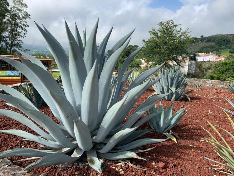Blue agave lines the rust-red dirt fields at Casa Sauza in Tequila. Photo by Maribeth Mellin