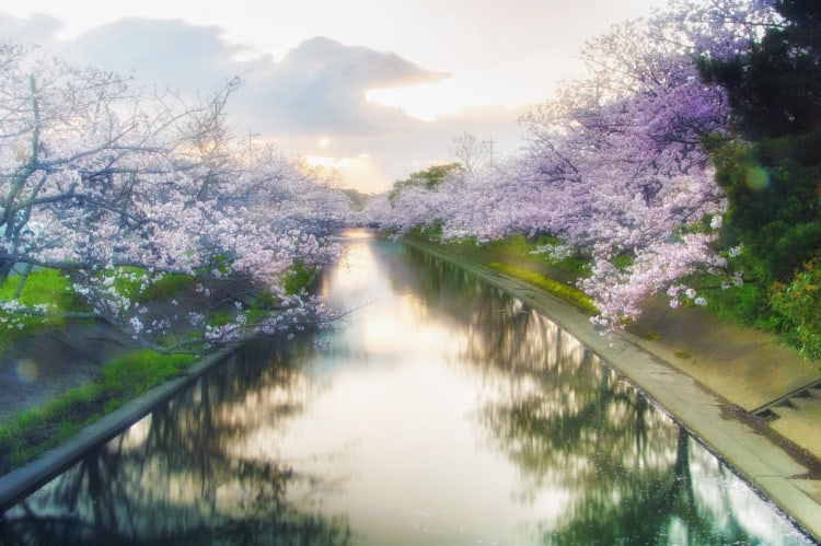 Japan is a bucket-list destination. Colorful and fragrant, Japan's cherry blossoms, a popular annual spring event.
