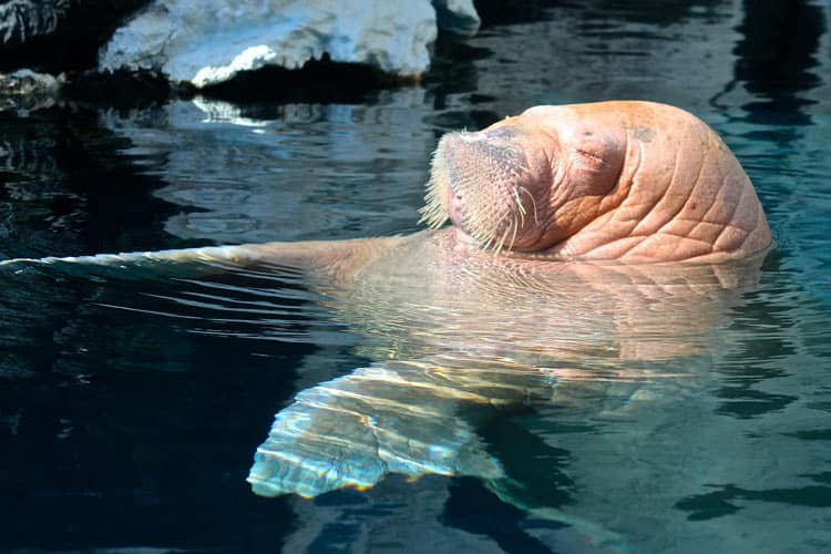 Trip to the zoo to see the Walrus
