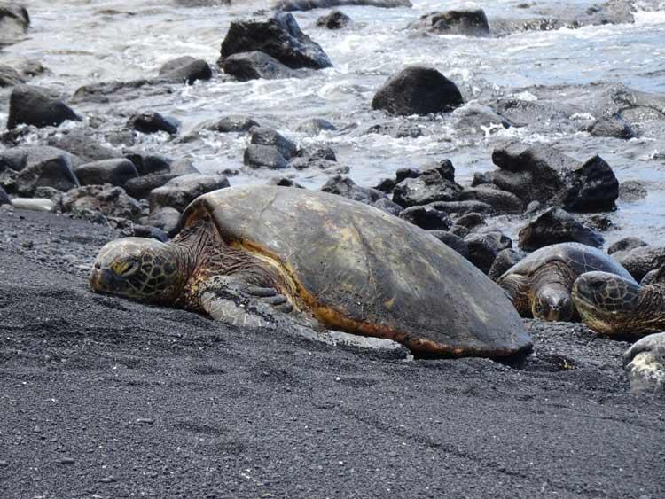The Punaluu Black Sand Beach attracts Hawaiian green sea turtles. Photo by Janna Graber