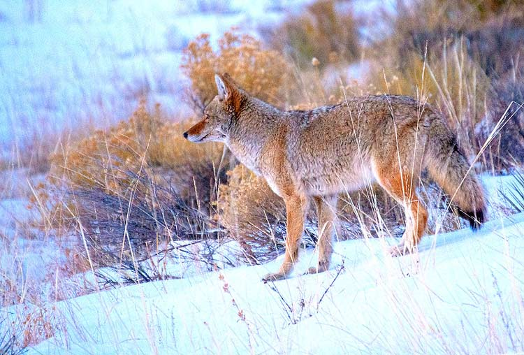 Wildlife can be found in the alpine meadows and the sand dunes. CC Image by Great Sand Dunes National Park & Preserve/Patrick Myers