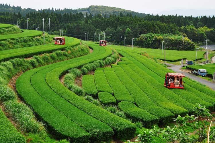 Green tea fields in Kagoshima, Japan. Photo by KPVB