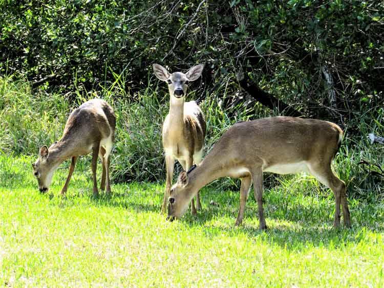 Adorable Keys Deer in the Florida Keys. Photo by Margaret Sudol/Dreamstime.com