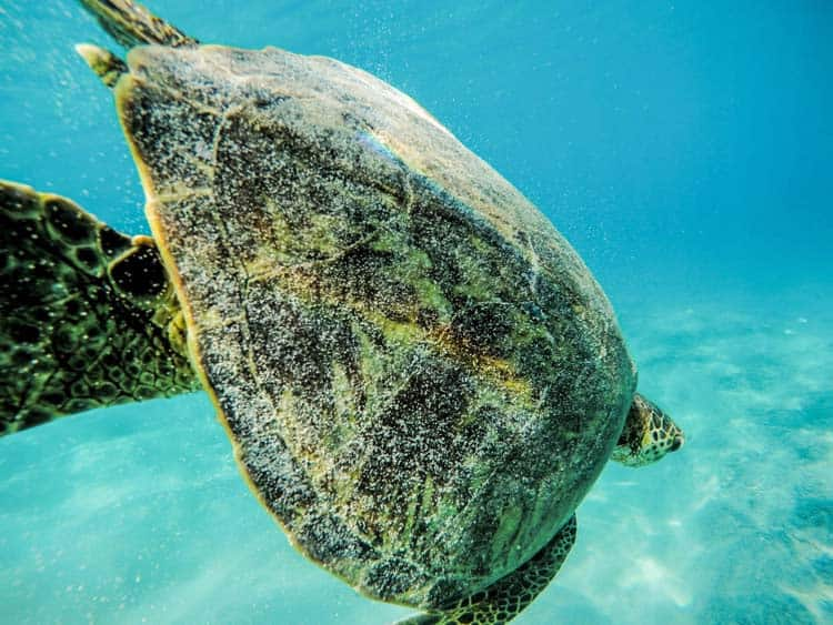 Snorkel with turtles and other marine wildlife in Hawaii