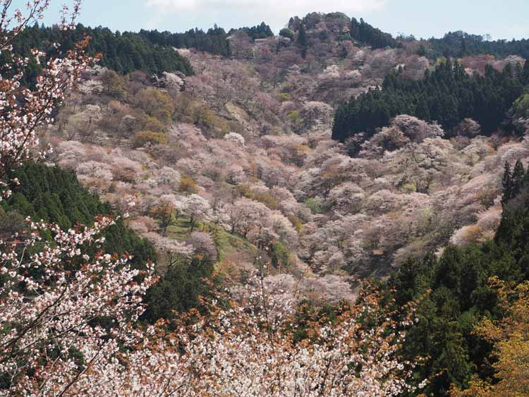 Cherry blossoms bloom on Mount Yoshino. CC Image by kanichan8