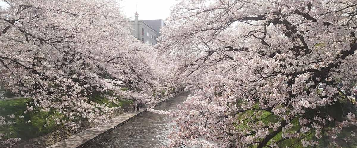 Cherry Blossoms in Toytama City, Japan. Photo by Masayoshi Sakamoto