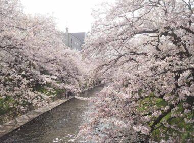Cherry Blossoms in Toytama City, Japan. Photo by Masayoshi Sakamoto