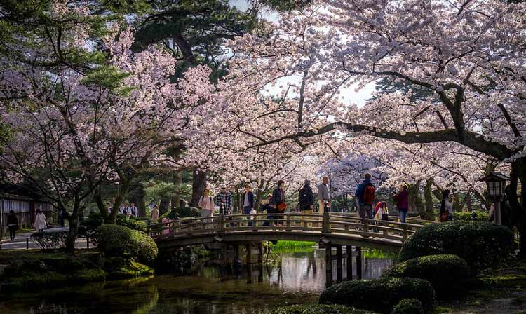 Cherry trees at Kenrokuen Garden in Japan. CC Image by Kyle Hasegawa