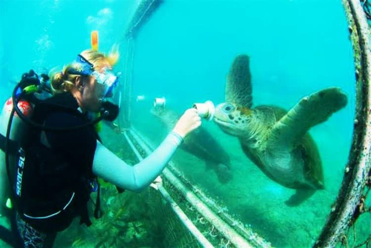 Feeding sharks and loggerhead turtles is done with care at the Curacao Sea Aquarium. Photo courtesy of the Dolphin Academy