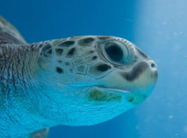 Curacao Sea Aquarium sea turtle. CC Image by Anja Disseldorp