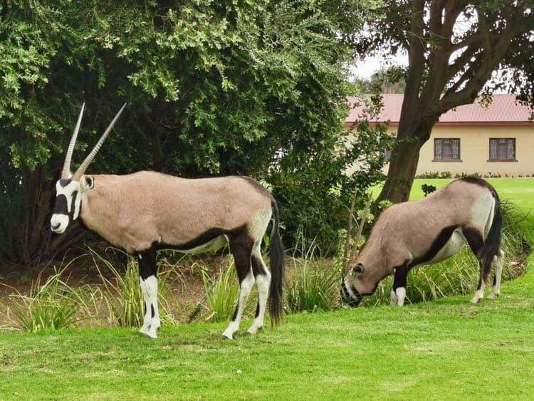 Namibia Oryx roaming the streets of Oranjemund
