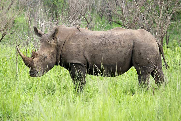 Ngorongoro is home to the elusive black rhino. CC Image by Michael Mayer