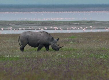 An exciting safari in Ngorongoro in search of the mysterious and elusive black rhino. CC Image by Rene Mayorga