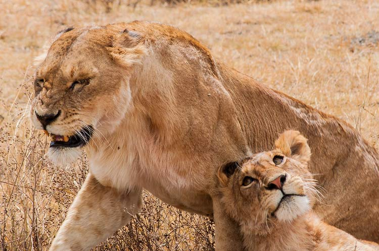 Lions on the safari in Tanzania. CC Image by Yoni Lerner
