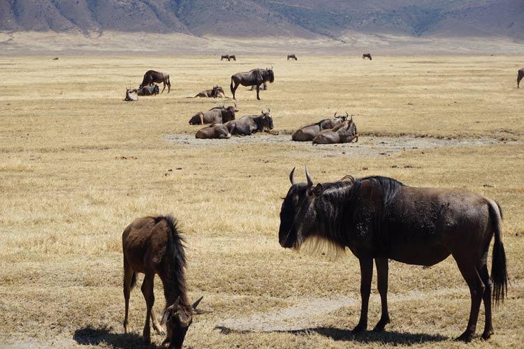 Wildebeest on safari in Ngorongoro in Tanzania. Photo by Michael Storey