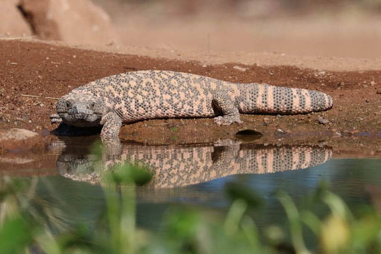 Tucson Desert Gila Monster