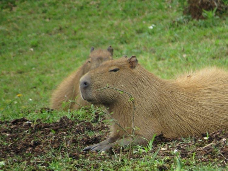 Capybaras relaxing
