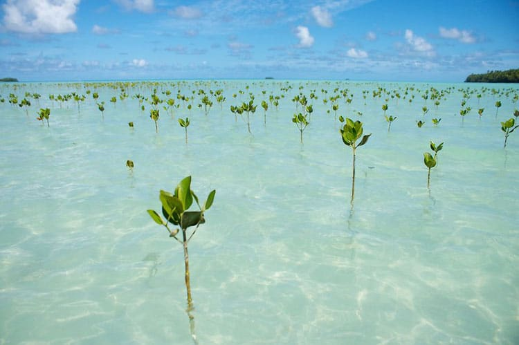 Mangrove sprouts in Tuvalu