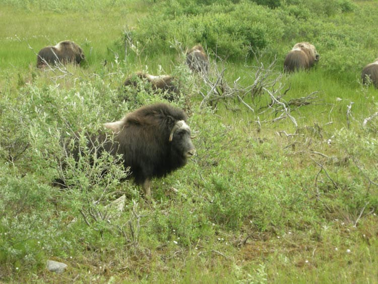 Wild muskox are easily viewed on day tours from Nome Alaska in summer