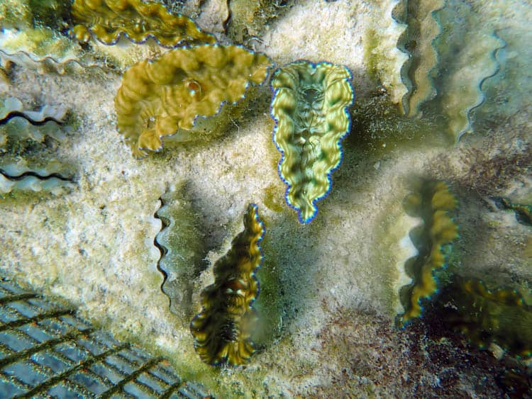 Diving at Yap Giant Clam Farm