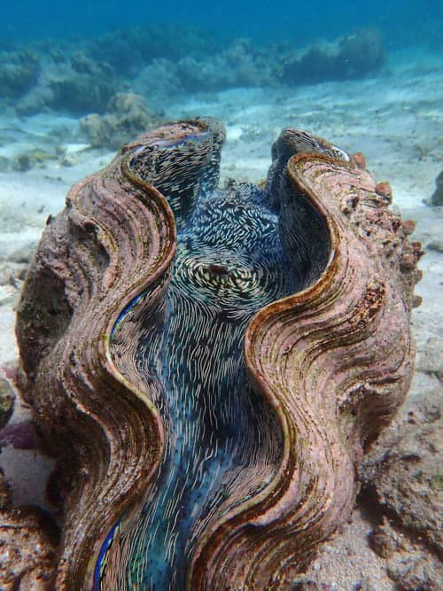 Diving in Yap Smooth Giant Clam