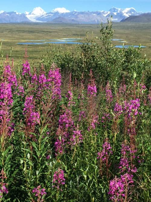 Fireweed and mountain peaks, the quintessential Interior Alaska in summer scene—in this case, on the Denali Highway.