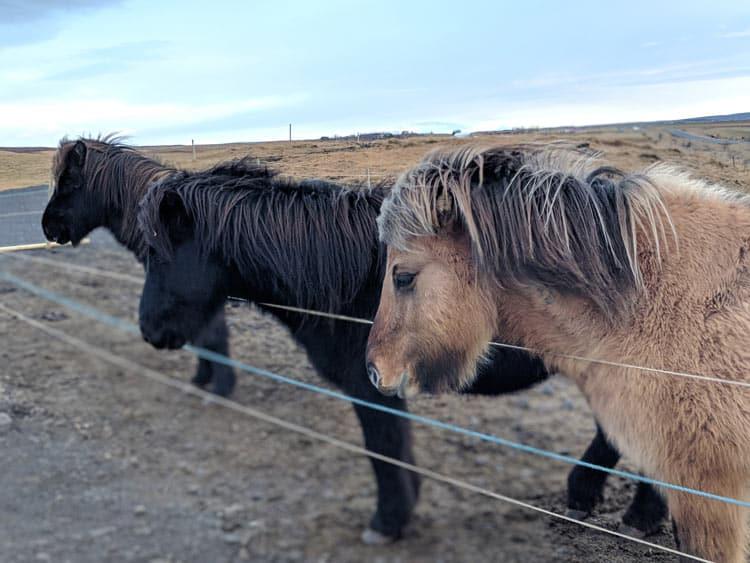 Icelandic horses. Photo by Logan Harvey