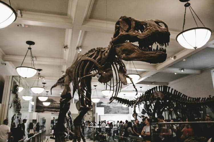 The dinosaur skeletons at the American Museum of Natural History in Manhattan