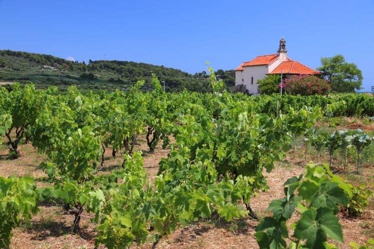 Vineyard in Korcula Croatia things to do